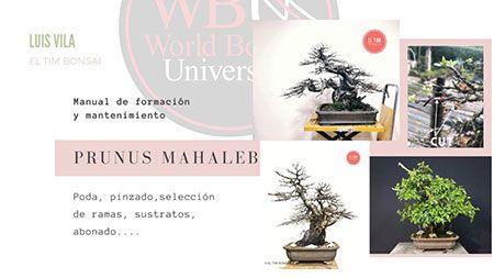 Curso World Bonsái Universitu(WBU): prunus mahaleb, creación y mantenimiento