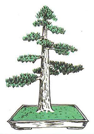 Los estilos de bonsái: chokkan o estilo vertical formal