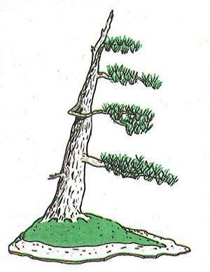 Los estilos de bonsái: fukinagashi o estilo azotado por el viento