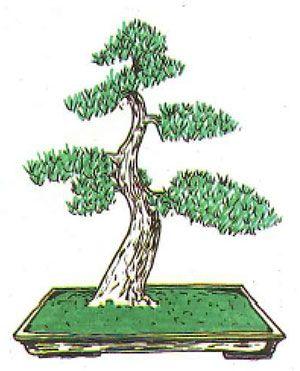Los estilos de bonsái: moyogui o estilo vertical informal
